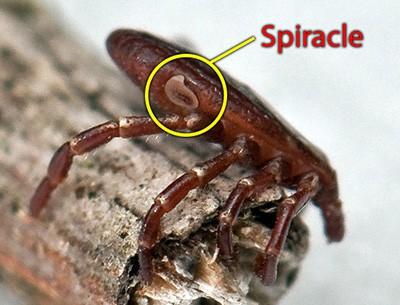 American Dog Tick - Spiracle