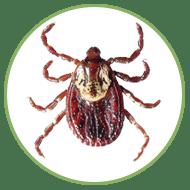 American Dog Tick (adult female)