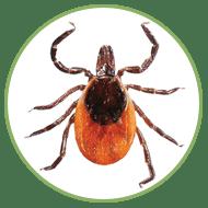 Blacklegged Deer Tick (adult female)