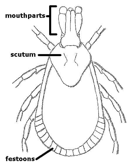 Basic Tick Anatomy