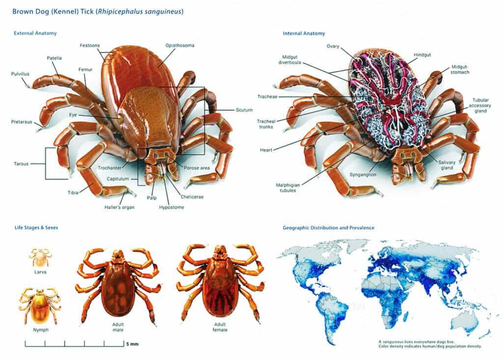 Detailed Tick Anatomy Info Graphic